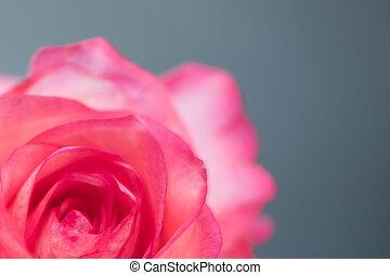 różowy, błękitny, róża, jeden, studio, tło