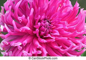 różowy, chryzantema, szczelnie-do góry, kwiat