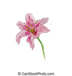 różowy, farba sztuki, odizolowany, ręka, akwarela, barwiony, biała lilia