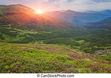 różowy, góry., rododendron, kwiaty, magia