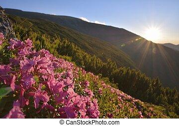 różowy, góry, rododendron, kwiaty, magia