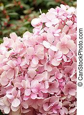 różowy, hortensja, rozkwiecony