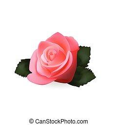 różowy, illustration., róża, odizolowany, realistyczny, wektor, icon., białe tło