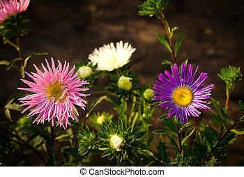 różowy, jesień, kwiaty, aster, fiołek