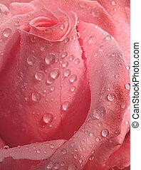 różowy, kropelki, róża