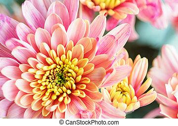 różowy kwiat, makro, do góry, żółty, chryzantema, tło, zamknięcie