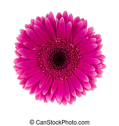 różowy kwiat, odizolowany, stokrotka