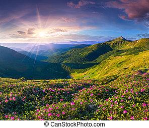 różowy, lato, rododendron, magia, kwiaty, góry., wschód słońca