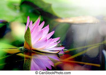 różowy, nenufar, pond., odbicie