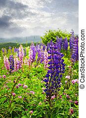 różowy, purpurowe kwiecie, łubin, ogród