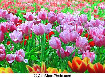 różowy, tulipan