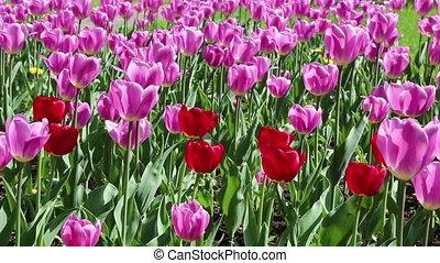 różowy, tulipany, czerwony