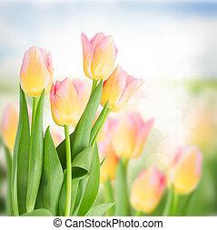 różowy, tulipany, do góry, żółty, zamknięcie