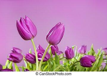 różowy, tulipany, kwiaty, studio spłynęło