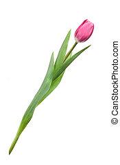 różowy, tulipany
