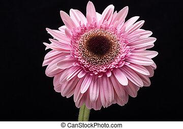 różowy, zamknięcie, kwiat, do góry, gerbera