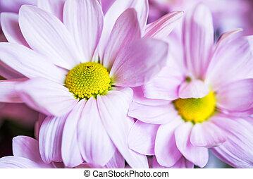 różowy, zamknięcie, kwiaty, do góry, chryzantema