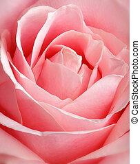 różowy, zatkać się, róża