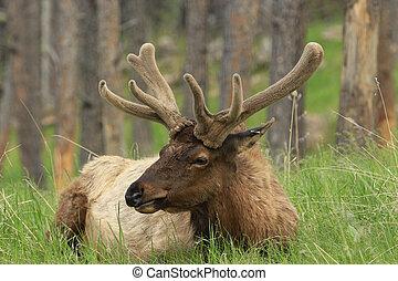 róg jeleni, aksamit