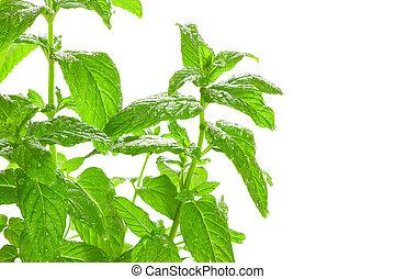również, flavouring., używany, aromatherapy, bardzo,...