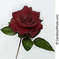 rózsa, (dark), 4