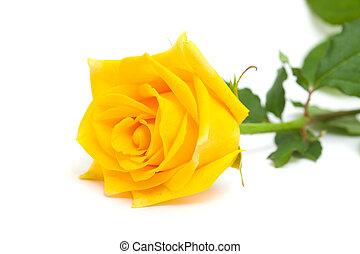 rózsa, elszigetelt, sárga
