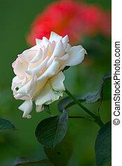 rózsa, fehér, nyár
