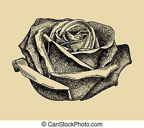 rózsa, rajzol, skicc, kéz