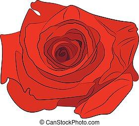 rózsa, vektor, rajz, ábra, piros