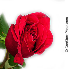 rózsa, white piros, háttér