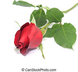 rózsa, white piros, háttér.