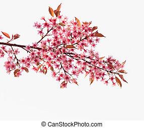 rózsaszínű, cseresznye, sakura, kivirul