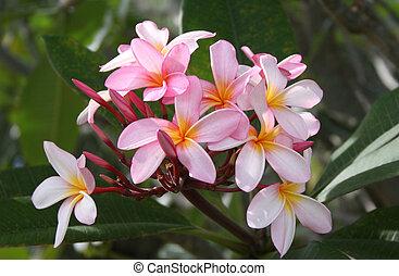 rózsaszínű, frangpanis