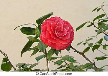 rózsaszínű, gyönyörű, kert, rózsa