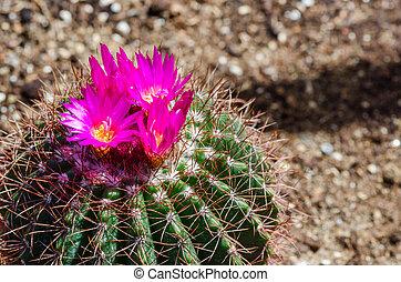 rózsaszínű, kaktusz, menstruáció