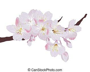 rózsaszínű, kivirul, sakura, elágazik, cseresznye