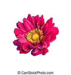 rózsaszínű, mona lisa, virág, eredet, bloom., elszigetelt,...