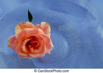 rózsaszínű rózsa, alatt, víz