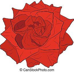 rózsaszínű rózsa, vektor, rajz, ábra