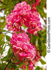 rózsaszínű, virágzó, akác, csokor
