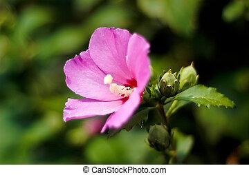 rózsaszínű, visszaugrik virág, zöld