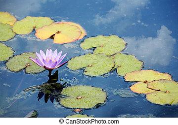rózsaszínű, waterlily