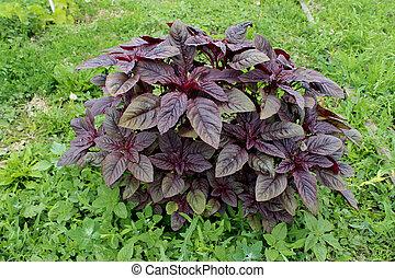 röd, amaranth, medicinsk, valentina., plant., frisk