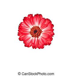röd blomma, in, vit fond