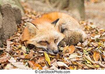 röd räv, sova