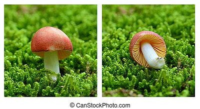 röd, svamp, collage