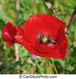 röd, vår blomma