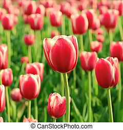 röd, vacker, tulpaner