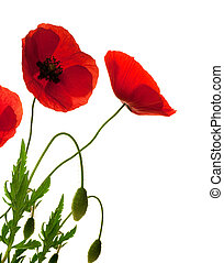 röd, vallmoer, över, vit fond, gräns, dekorativ, blomningen, design