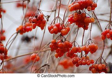 röd, vinter